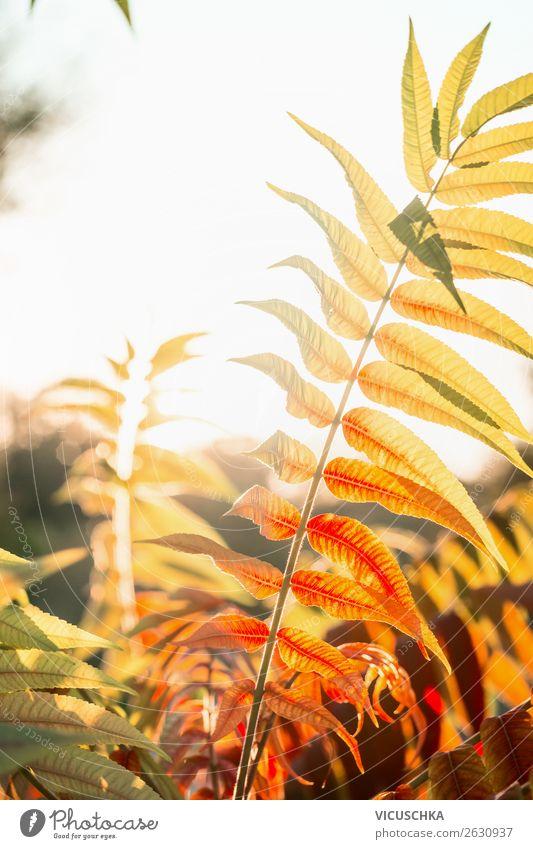 Schöner Herbstlaub in dem Sonnenlicht Lifestyle Natur Blatt Garten Park orange Hintergrundbild herbstlich Herbstfärbung Außenaufnahme Farbfoto Nahaufnahme