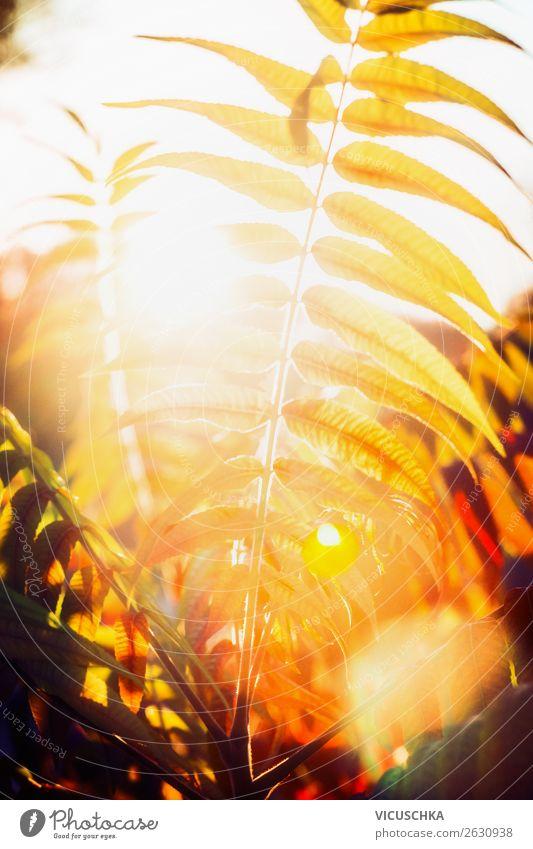 Herbstlaub in Sonnenuntergang Licht Lifestyle Design Garten Natur Landschaft Pflanze Blatt Park gelb Sonnenlicht Sonnenstrahlen Nahaufnahme Farbfoto