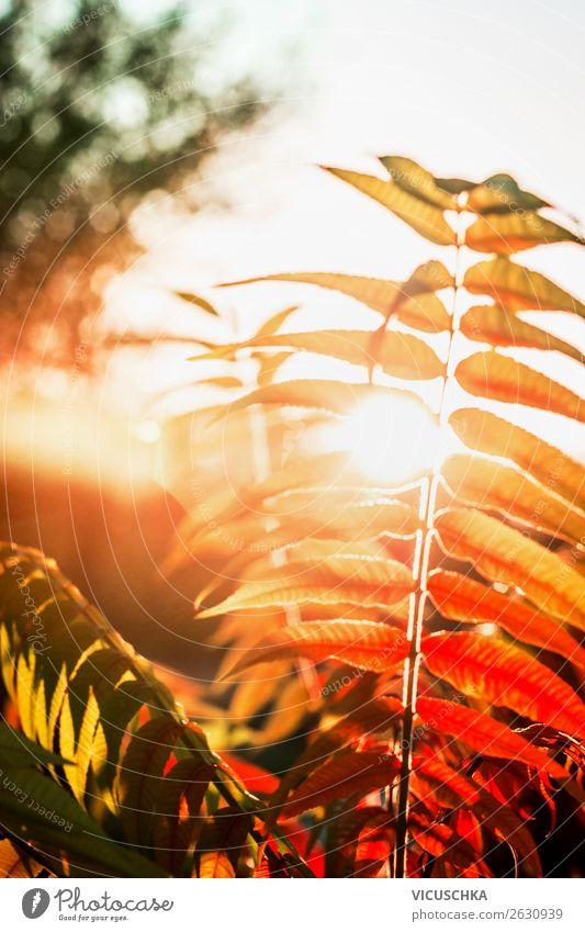 Herbstlaub im Sonnenuntergang Design Natur Pflanze Park gelb Hintergrundbild herbstlich Herbstfärbung Farbfoto Außenaufnahme Nahaufnahme Makroaufnahme