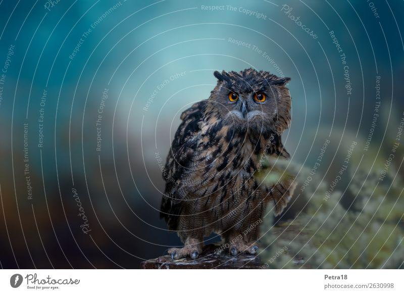 Uhu Tier Wildtier Vogel Zoo Eulenvögel 1 beobachten blau braun Umweltschutz Wissen Greifvogel Jäger Gedeckte Farben Außenaufnahme Menschenleer