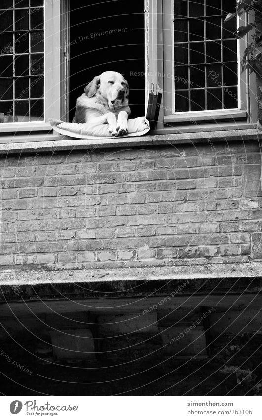 hund am fenster Hund schlafen Hundeblick Halbschlaf Schwarzweißfoto Fenster Fensterbrett 1 Wachsamkeit außergewöhnlich Hundekopf sitzen Menschenleer Kontrolle