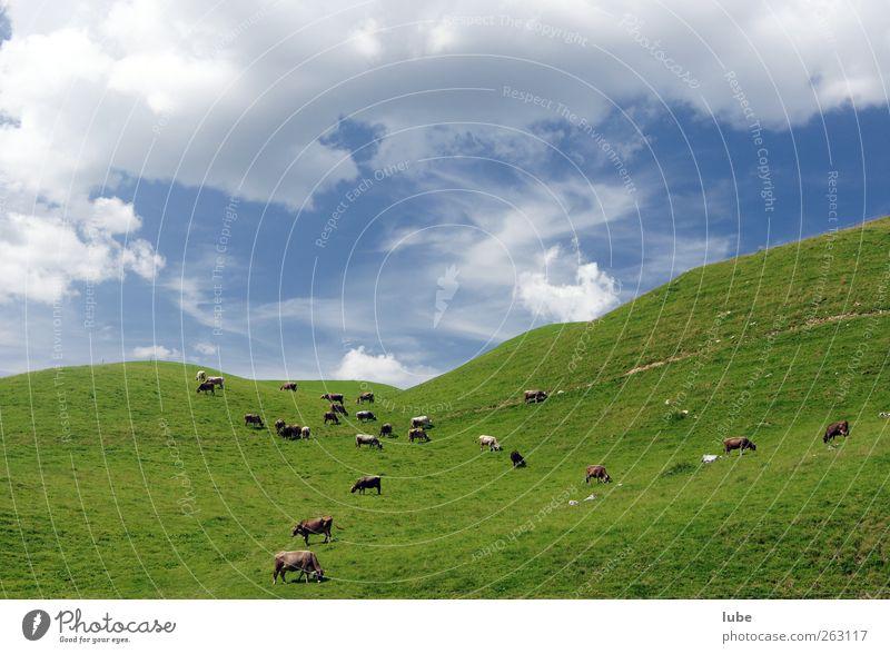 Kuhherde Berge u. Gebirge Umwelt Natur Landschaft Sommer Gras Hügel Tier Nutztier Herde Alm Alpenwiese Farbfoto Außenaufnahme Textfreiraum oben Weitwinkel Weide