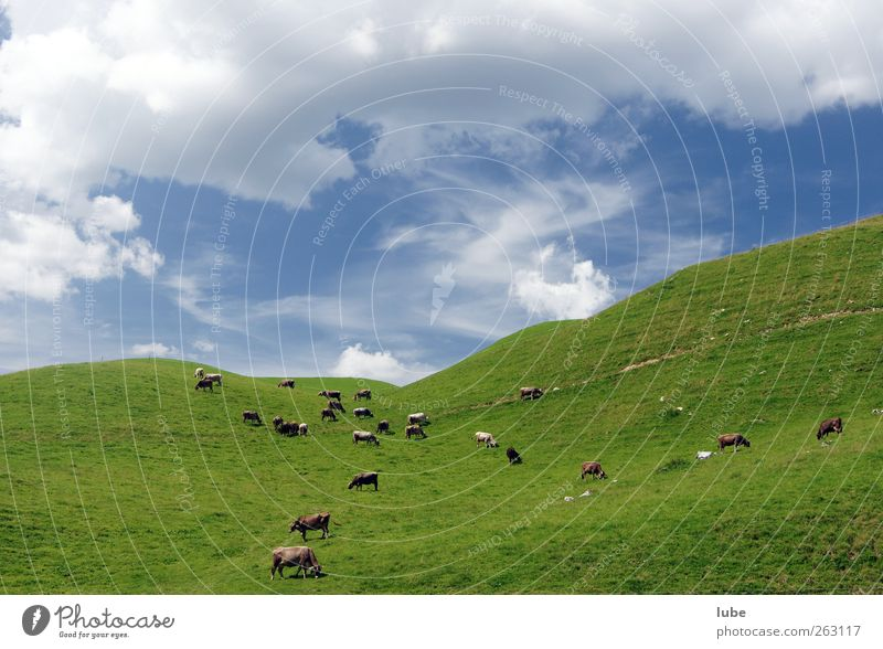 Kuhherde Natur Sommer Tier Umwelt Landschaft Berge u. Gebirge Gras mehrere Tiergruppe Hügel Weide Kuh Herde Alm Nutztier Alpenwiese