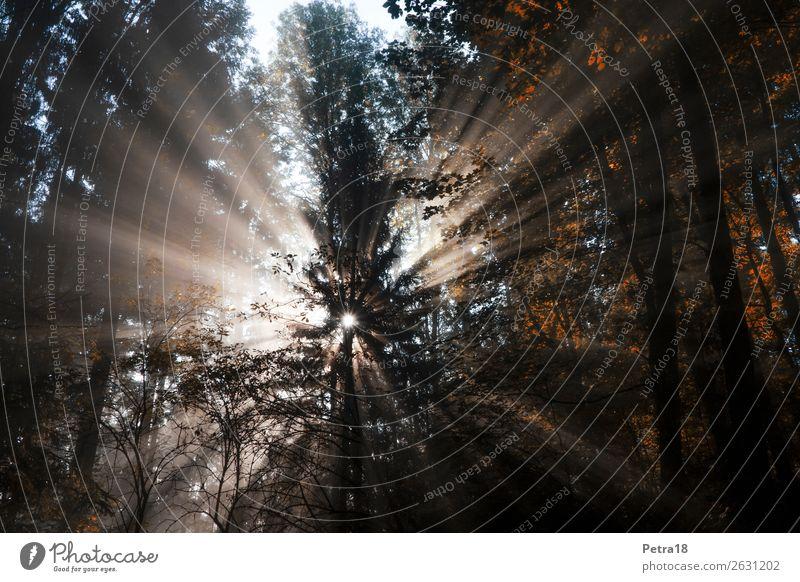Nebel-Sonnenstrahlen Umwelt Natur Pflanze Sonnenlicht Herbst Schönes Wetter Wald Herbstwald Herbstfärbung Herbstbeginn Menschenleer braun gelb gold Gefühle