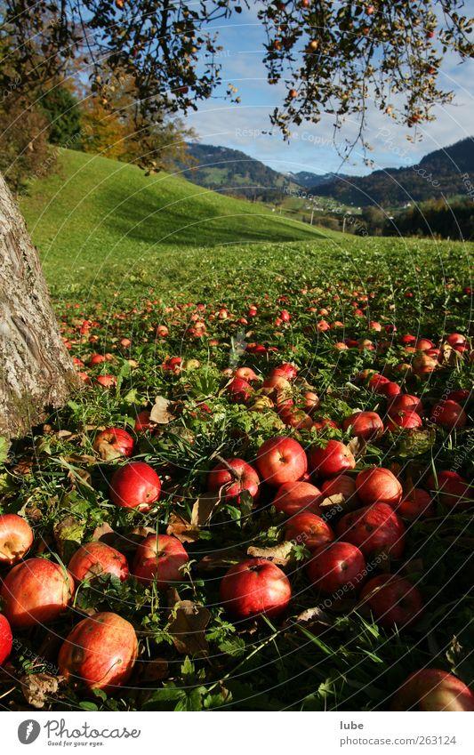 Auf zur Apfelernte Natur rot Landschaft Umwelt Herbst Wiese Lebensmittel Frucht Park Feld Vegetarische Ernährung Erntedankfest Apfelbaum Obstbaum Baum