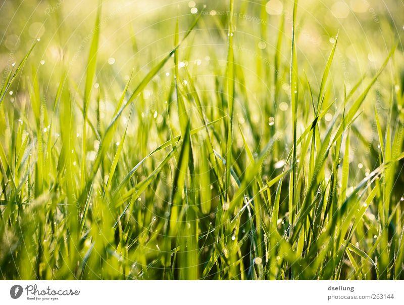 Frühaufsteher Natur grün schön Pflanze Farbe gelb Wiese Gras Frühling klein glänzend wild nass natürlich frisch Wassertropfen