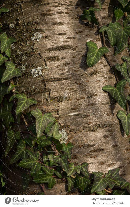 Efeu auf Kirsche Umwelt Natur Landschaft Pflanze Frühling Sommer Herbst Winter Baum Wildpflanze Garten Wald Wahrheit Ehrlichkeit authentisch Toleranz Glaube