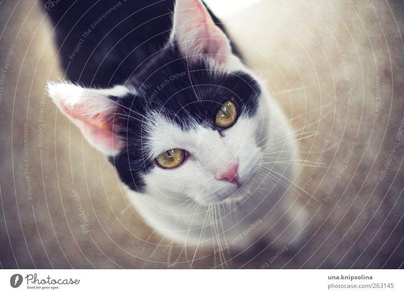quotenkater Katze weiß schön Tier schwarz oben rosa niedlich weich beobachten Tiergesicht Freundlichkeit Haustier Schnurrhaar