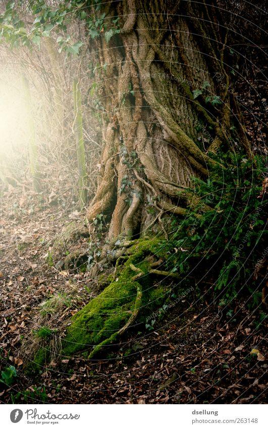 Wie im Märchen... Natur grün Baum Pflanze Wald gelb Umwelt Tod dunkel Landschaft grau träumen Erde braun Kraft wild