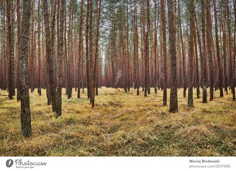 Dunkle Waldlandschaft im Herbst. Umwelt Natur Landschaft Pflanze Baum Gras dunkel Neugier grün Dekadenz Einsamkeit einzigartig Symmetrie Umweltschutz Ferne Zeit