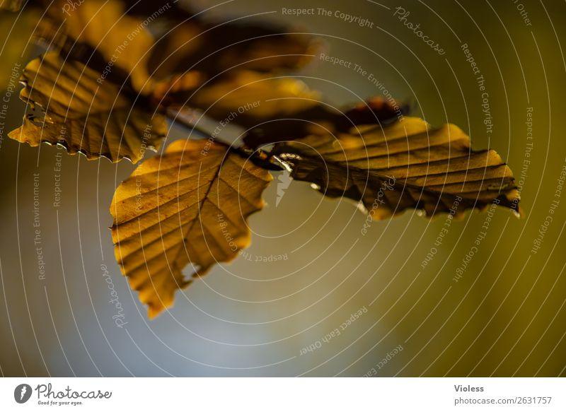 Autumn III Herbst braun Buche Wald Blatt Umwelt Natur Zweig Ast gold