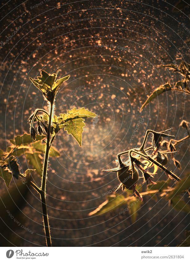 Verbeugung Herbst Pflanze Nutzpflanze Tomate Strauchtomate Sträucher Stengel Blatt Garten Gewächshaus Glasfassade leuchten stehen Wachstum dreckig glänzend