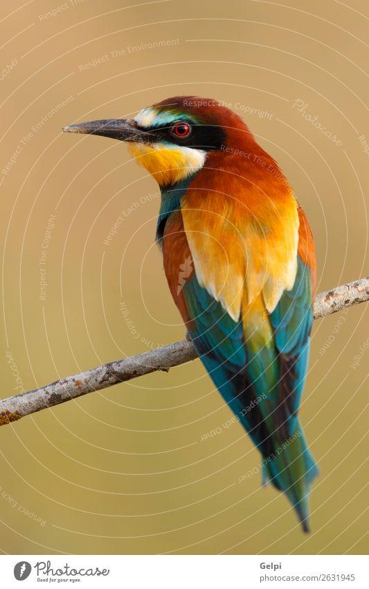 Kleiner Vogel, der auf einem Ast sitzt. exotisch schön Freiheit Natur Tier Biene glänzend füttern hell wild blau gelb grün rot weiß Farbe Tierwelt Bienenfresser