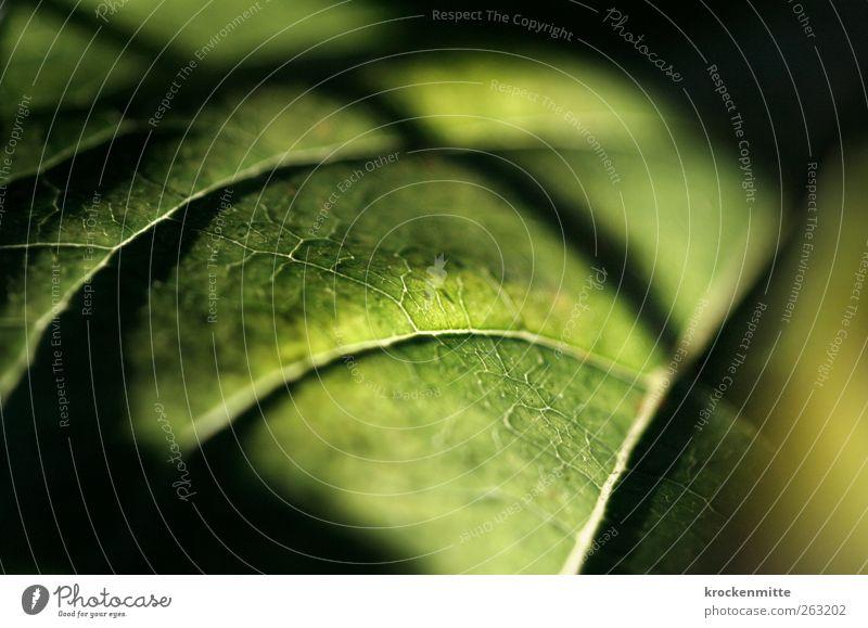 natural sixpack Umwelt Natur Pflanze Grünpflanze grün Blatt Blattadern Blattgrün Blattfaser Photosynthese pflanzlich Pflanzenteile Botanik Schatten Netzwerk