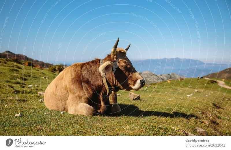 Die Kuh liegt auf dem Gras liegend. schön Sonnenbad Berge u. Gebirge Natur Landschaft Tier Herbst Wiese Stein Fressen schlafen authentisch braun grün Einsamkeit