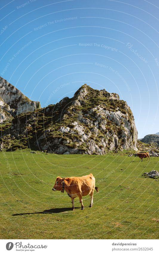 Kuh, die durch das Gras läuft. schön Sonnenbad Berge u. Gebirge Natur Landschaft Tier Herbst Wiese Felsen Stein Fressen authentisch braun grün Feld picos europa