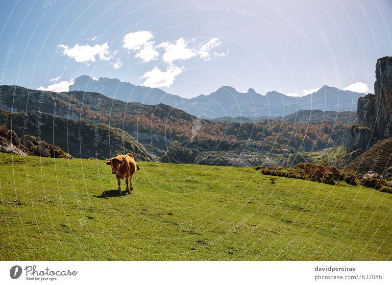 Kuh auf dem Gras in den Bergen schön Sonnenbad Berge u. Gebirge Natur Landschaft Pflanze Tier Wolken Herbst Baum Wiese Felsen Stein Fressen authentisch