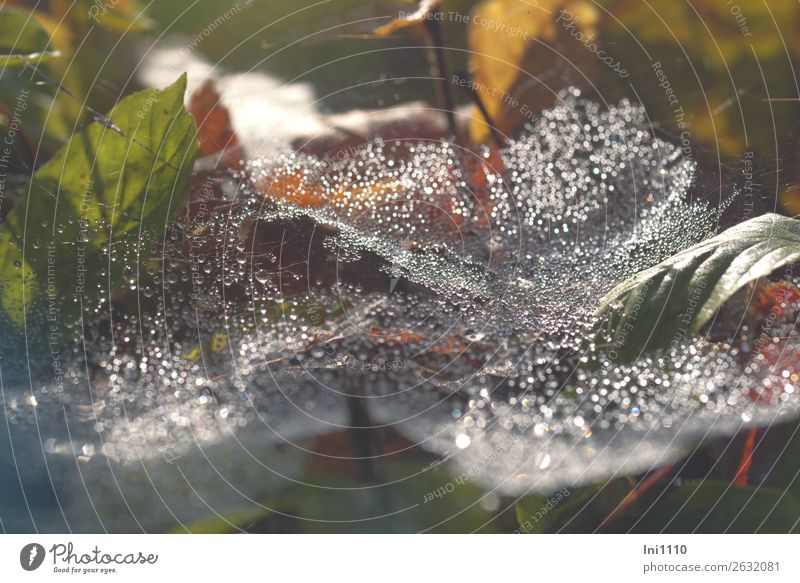 Spinnennetz Natur Pflanze Wasser Wassertropfen Sonnenlicht Herbst Schönes Wetter Regen Blatt Garten Park Wiese Feld Wald braun gelb grün rot schwarz weiß Tau
