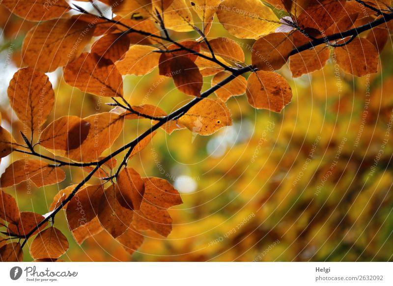 Zweige einer Buche, Herbstfärbung mit gelben und braunen Blättern Umwelt Natur Pflanze Baum Blatt Herbstlaub Park festhalten leuchten dehydrieren ästhetisch