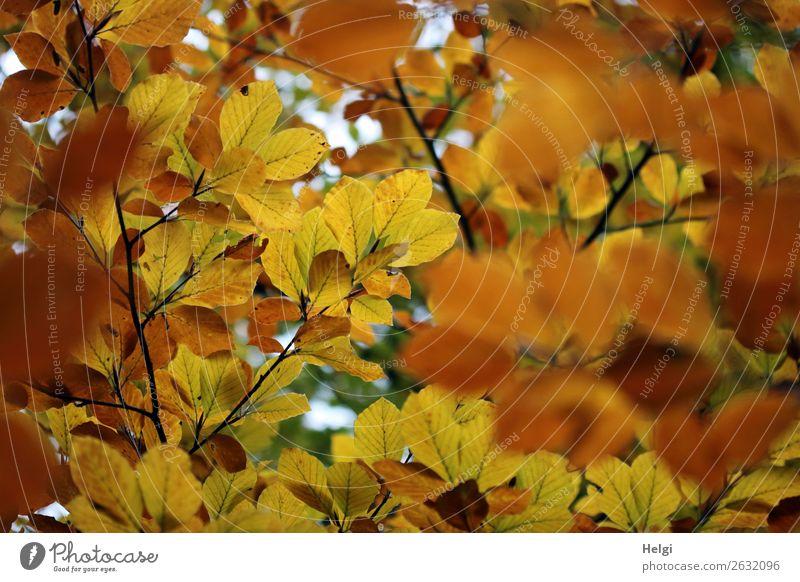 Zweige von Buchen mit Blättern in gelber und brauner Herbstfärbung Umwelt Natur Pflanze Baum Blatt Wildpflanze Blattadern Park leuchten dehydrieren Wachstum