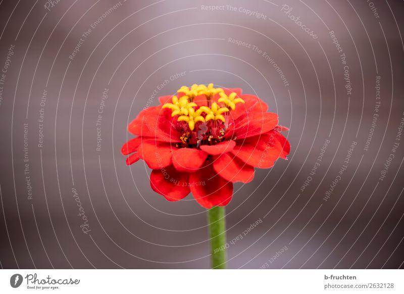 Rote Blüte Erholung Meditation Sommer Pflanze Blume authentisch einfach elegant Freundlichkeit frisch schön braun rot Warmherzigkeit Freundschaft Liebe Romantik