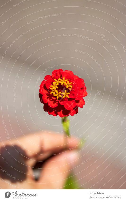 Eine rote Blume Hand Finger Sommer Blüte Blühend Erholung festhalten Blick einfach elegant Freundlichkeit frisch Gesundheit ästhetisch Freude Frieden