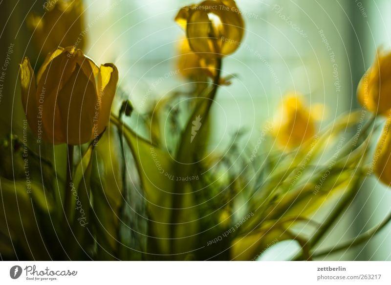 Tulpen Natur alt Pflanze Blatt Umwelt dunkel Blüte Blumenstrauß