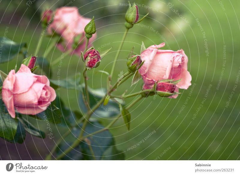 Rosengarten Umwelt Natur Pflanze Frühling Blatt Blüte Wildpflanze grün rosa Gefühle Blume Blütenknospen Farbfoto mehrfarbig Nahaufnahme Detailaufnahme