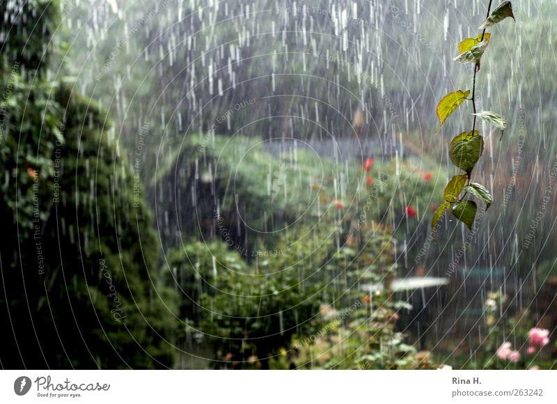 es regnet, es regnet.... Natur grün Pflanze Sommer Garten Regen Wetter nass Klima Wassertropfen Urelemente Unwetter