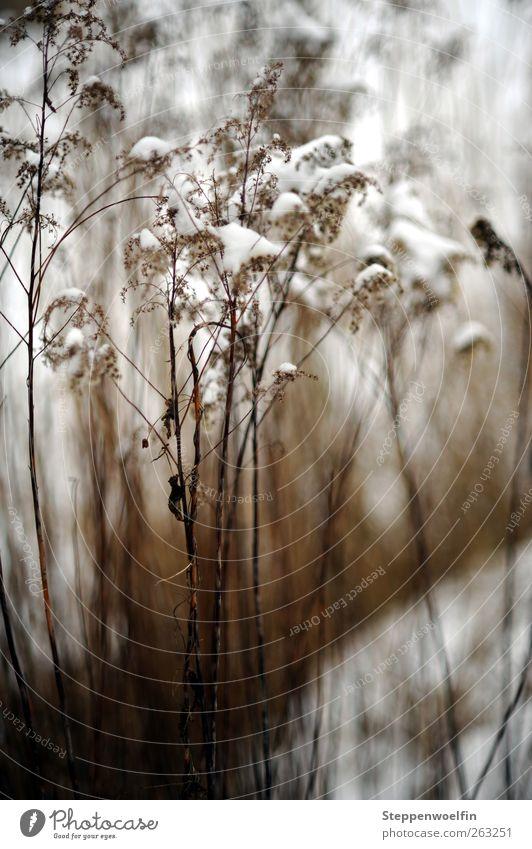 Schneeschilf Natur weiß Pflanze Winter ruhig dunkel Schnee Gras braun Eis Wetter wild natürlich Frost Vergänglichkeit vertrocknet