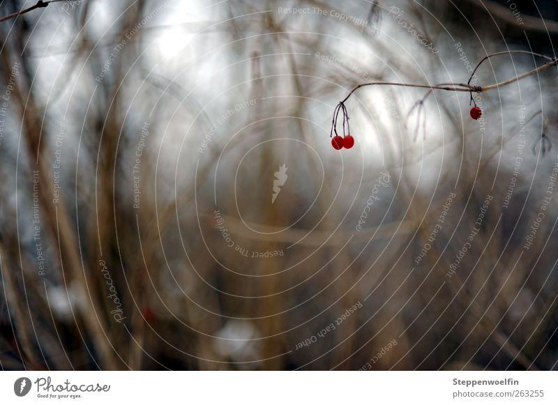 einsame Beere Umwelt Natur Pflanze Winter Sträucher Wildpflanze Beeren Riedgras dunkel trist braun rot weiß Detailaufnahme einfach Unschärfe