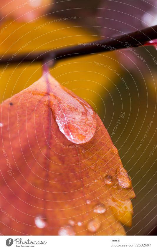 Ganz schön traurig Wassertropfen Herbst Blatt Tropfen Regen nass Reinheit Traurigkeit Sorge Trauer Liebeskummer Herbstlaub Herbstfärbung Warme Farbe mehrfarbig