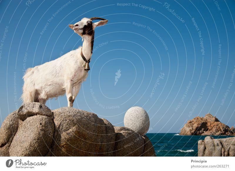 InselZiege auf Wachposten Landschaft Schönes Wetter Küste Meer Nutztier beobachten Kontrolle Konzentration Stolz Farbfoto Außenaufnahme Textfreiraum rechts