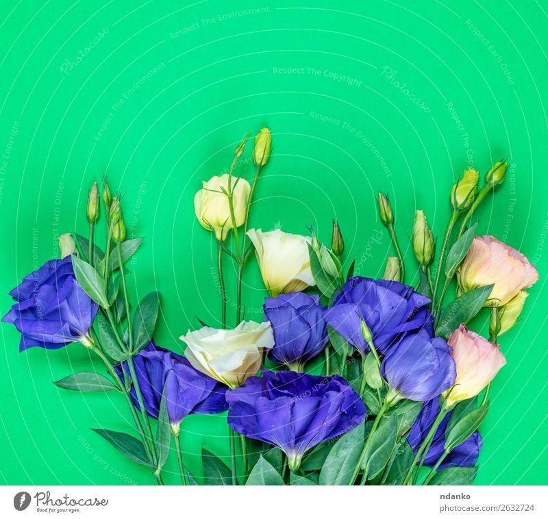frische blühende Blumen Eustoma Lisianthus Feste & Feiern Valentinstag Muttertag Geburtstag Natur Pflanze Blatt Blüte Blumenstrauß Blühend hell natürlich blau