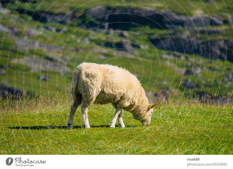 Schaf auf der Weide auf den Lofoten in Norwegen Erholung Ferien & Urlaub & Reisen Tourismus Berge u. Gebirge Landwirtschaft Forstwirtschaft Natur Landschaft