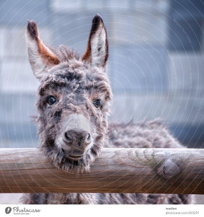 Esels.ohren Tier Haustier Nutztier Tiergesicht Fell 1 Tierjunges Freundlichkeit Neugier blau grau lachen Eselsohr Gedeckte Farben Außenaufnahme Menschenleer