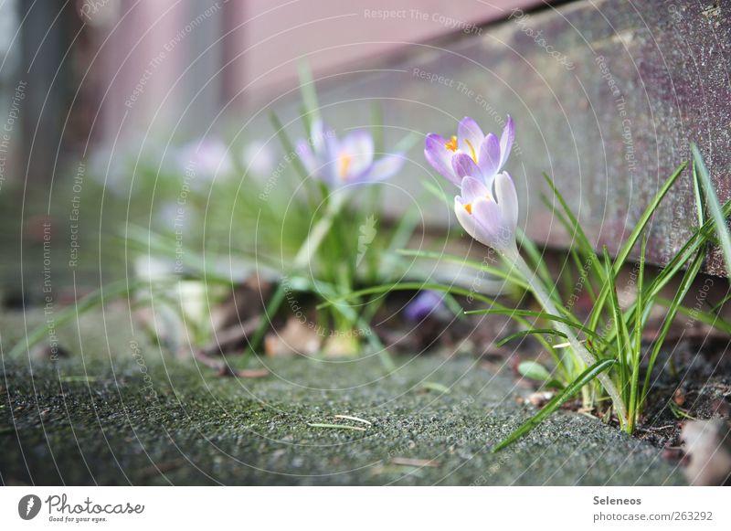 Hallo Frühling! Umwelt Natur Schönes Wetter Pflanze Blume Gras Blüte Krokusse Haus Terrasse Stein Beton Blühend Farbfoto Außenaufnahme Nahaufnahme Makroaufnahme
