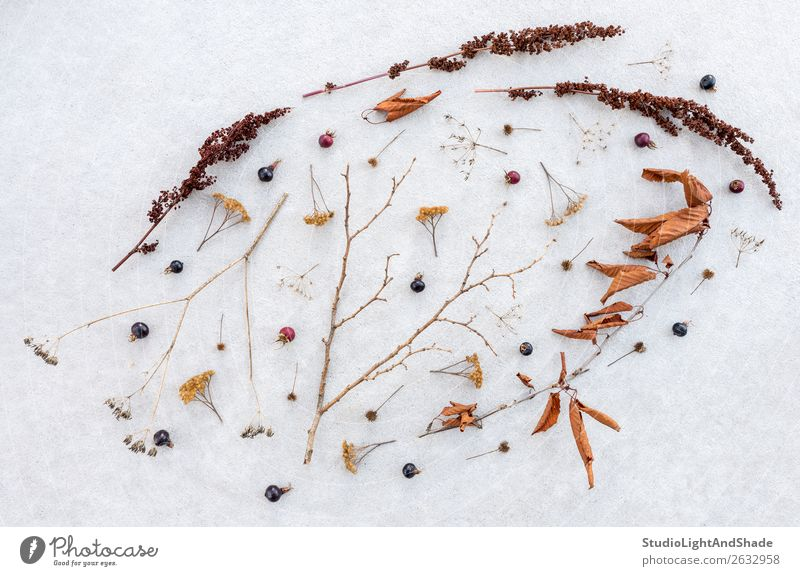 Schönheit trockener, empfindlicher Pflanzen Frucht elegant schön Winter Schnee Natur Herbst Baum Blatt Wald Sammlung Beton dunkel einfach natürlich wild braun