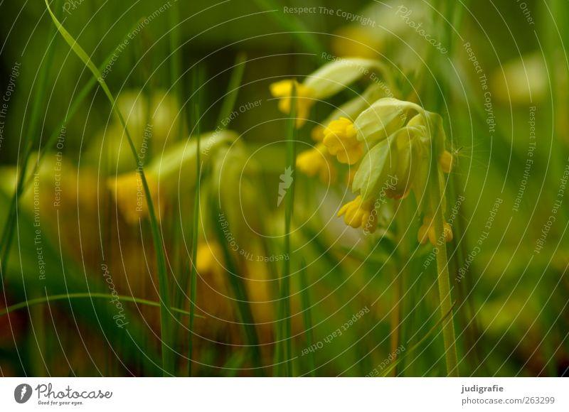 Frühling Umwelt Natur Pflanze Blume Gras Blüte Garten Wiese Blühend Wachstum frisch schön gelb grün Himmelsschlüsselchen Farbfoto Außenaufnahme Licht