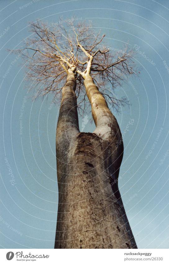 himmelwärts Baum hoch dünn Koloss aufstrebend