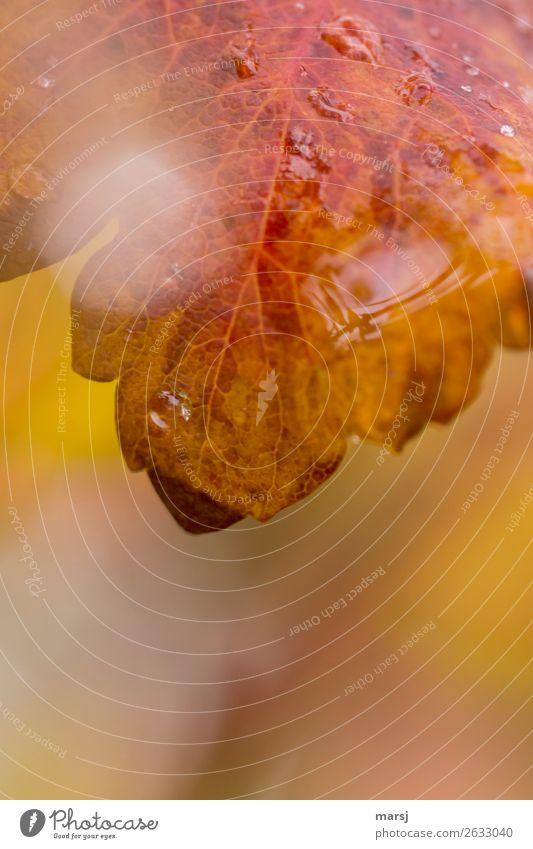 Schön nass Leben Wassertropfen Herbst Pflanze Blatt frisch natürlich Herbstlaub herbstlich Herbstfärbung Farbfoto mehrfarbig Außenaufnahme Nahaufnahme