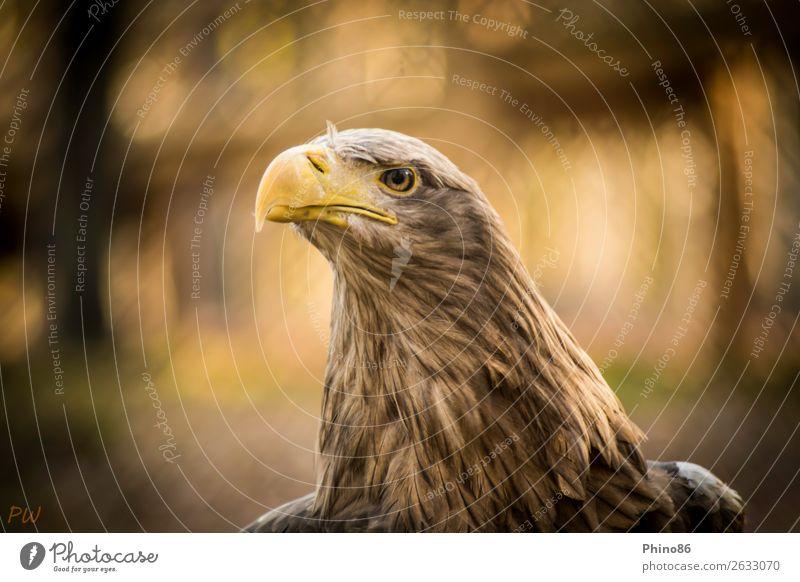 Seeadler Tier Wildtier Vogel Tiergesicht Zoo 1 beobachten hören außergewöhnlich authentisch elegant Kraft schön Wachsamkeit Ausdauer Stolz Entschlossenheit