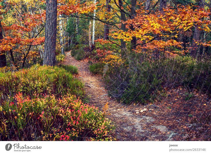 Zwischen Sommer und Winter Natur Landschaft Herbst Baum Sträucher Wald Wege & Pfade braun gelb grün orange Idylle Wandel & Veränderung Herbstwald Farbfoto