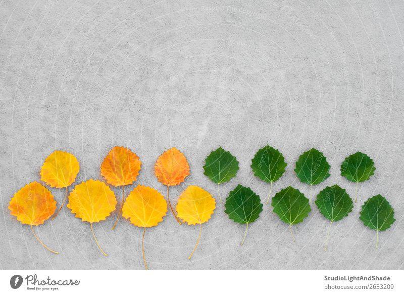 Gelbe und grüne Blätter auf Betonuntergrund schön Sommer Natur Pflanze Herbst Wetter Baum Blatt Wald alt hell natürlich gelb gold Farbe Inspiration Kreativität