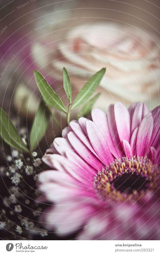 alles gute zum frauentag! Frühling Blume Rose Blatt Blüte Gerbera Blühend Duft Freundlichkeit natürlich rosa Farbfoto Gedeckte Farben Innenaufnahme Nahaufnahme