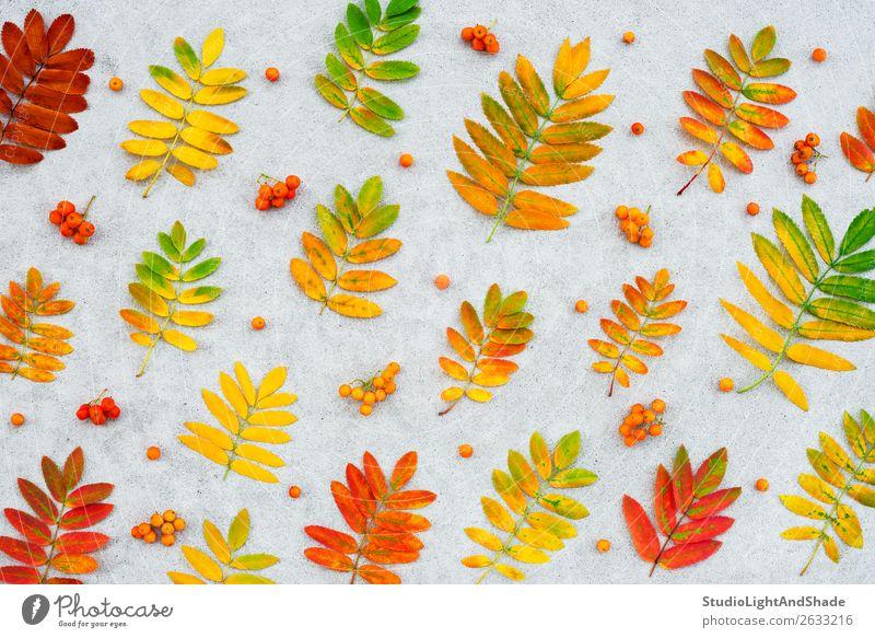 Bunte Aschebaumblätter und -früchte Frucht schön Garten Kunst Natur Pflanze Herbst Baum Blatt Wald Beton hell natürlich gelb gold grau rot Farbe Aschbeere