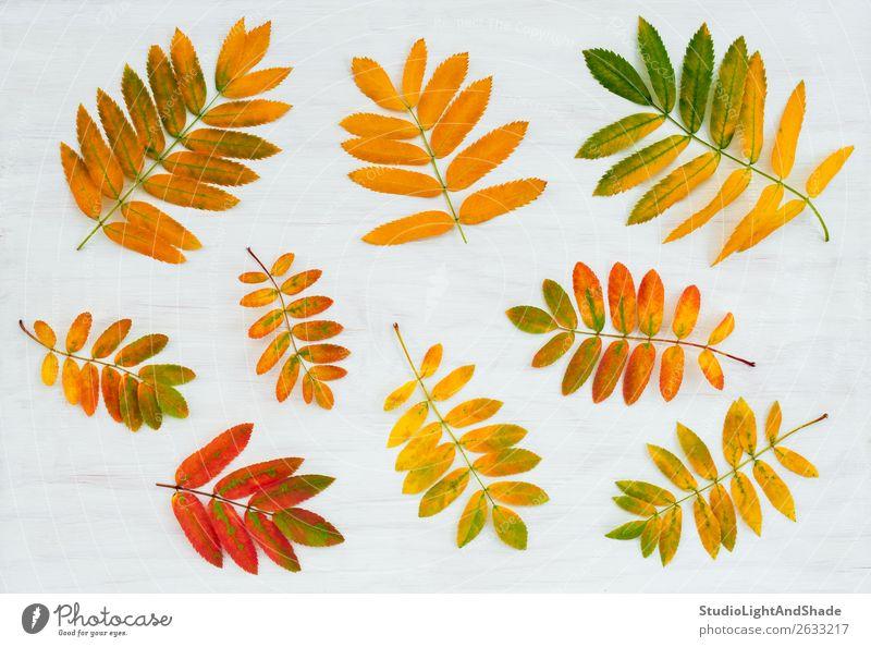 Bunte Aschebaumblätter auf bemaltem Holzgrund schön Garten Kunst Natur Pflanze Herbst Baum Blatt Wald hell natürlich gelb gold rot weiß Farbe Aschbeere