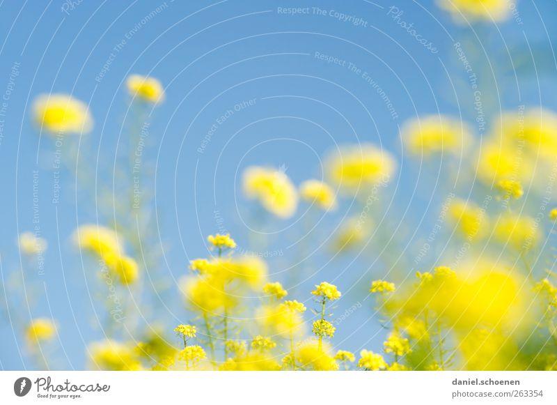 wenn der Sommer nicht mehr weit ist ... Natur Pflanze Himmel Wolkenloser Himmel Schönes Wetter Feld hell schön blau gelb Raps Rapsfeld Farbfoto mehrfarbig