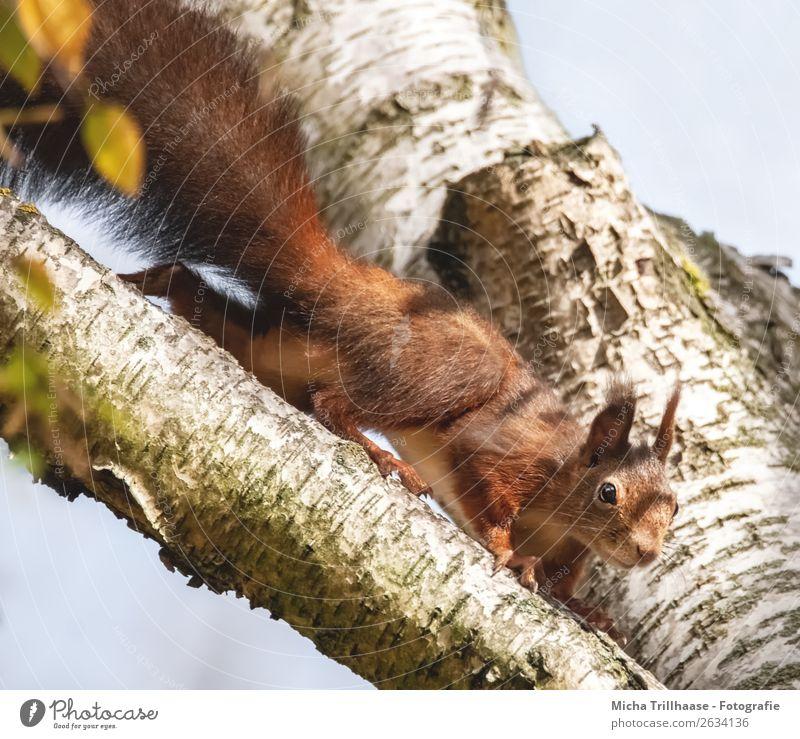 Neugieriges Eichhörnchen im Baum Umwelt Natur Tier Himmel Sonne Sonnenlicht Schönes Wetter Wildtier Tiergesicht Fell Krallen Pfote Auge Ohr Schwanz 1 beobachten