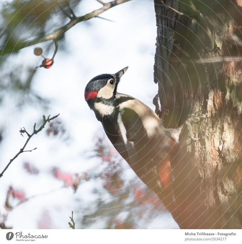 Buntspecht am Baumstamm Natur blau weiß rot Sonne Tier schwarz gelb Umwelt natürlich Vogel Wildtier Feder Schönes Wetter Flügel